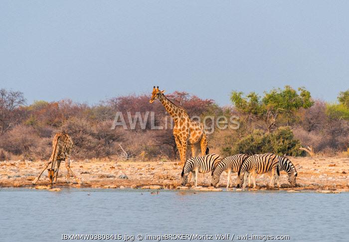Giraffe (Giraffa camelopardis) and Burchell's Zebraa (Equus quagga burchellii), Klein Namutoni water hole, Etosha National Park, Namibia, Africa