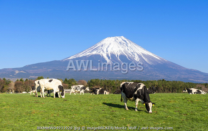 Black and white cows on a green pasture in front of volcano Mt. Fuji, Yamanashi Prefecture, Japan, Asia