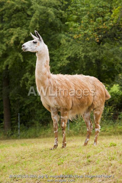 Llama (Llama glama), Ostheim in the Hassbergen mountains, Lower Franconia, Bavaria, Germany, Europe