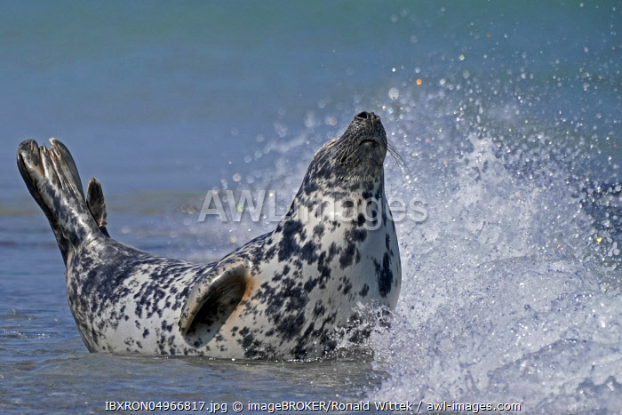 Grey seal (Halichoerus grypus) in the water at the beach, Helgoland, Schleswig-Holstein, Germany, Europe