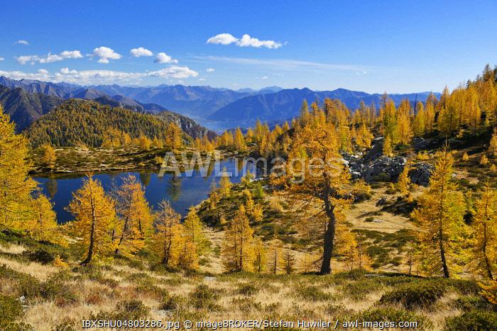 Larches (Larix) in autumn colour at the Laghetto dei Salei, Onsernone valley, Canton Ticino, Switzerland, Europe