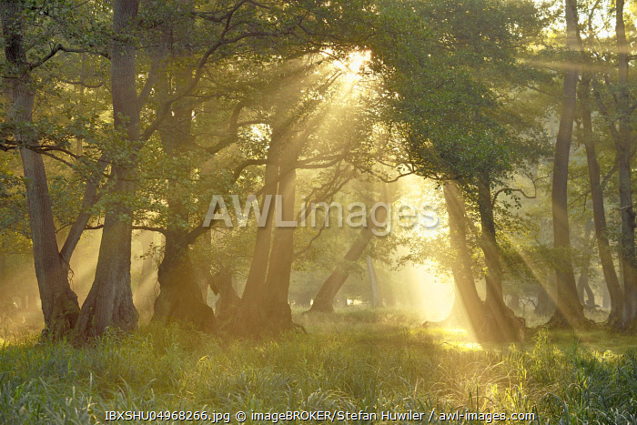 Alder quarry (Alnus glutinosa), at sunrise with sunrays and early fog, Copenhagen, Denmark, Europe