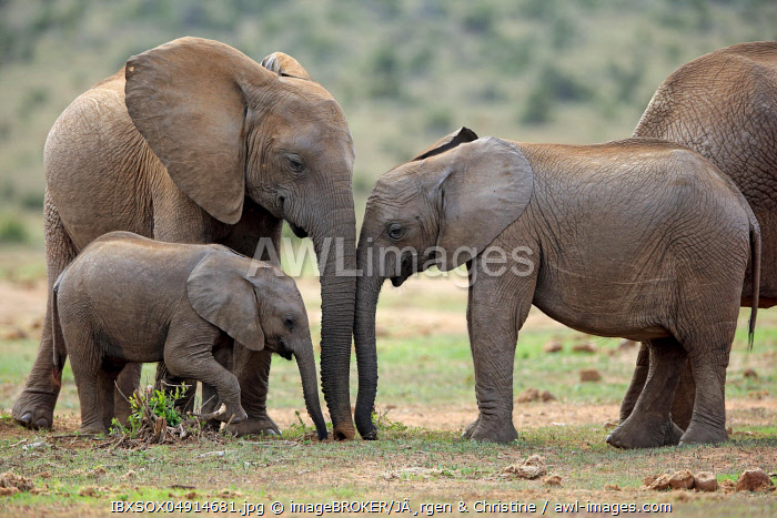 African elephants (Loxodonta africana), adult and young animals eating, Addo Elephant National Park, Eastern Cape, South Africa, Africa