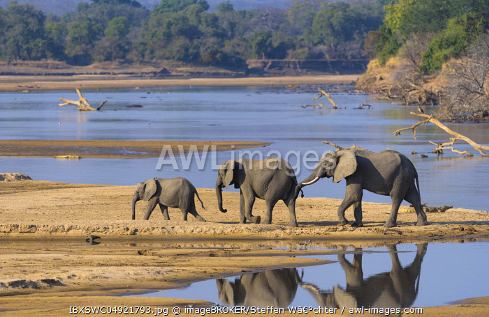 African elephants (Loxodonta africana) at the Luangwa River, South Luangwa National Park, Zambia, Africa