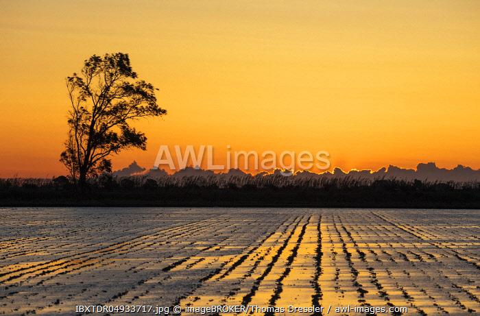 Rice field, at sunrise, Ebro Delta Nature Reserve, Tarragona province, Catalonia, Spain, Europe