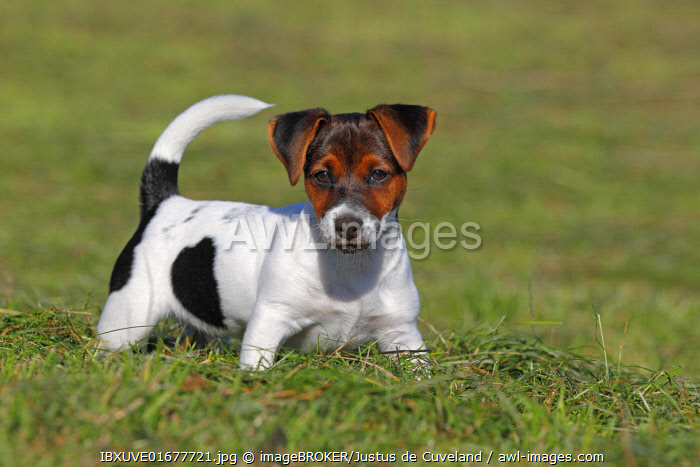 Young Jack Russell Terrier dog (Canis lupus familiaris), Puppy, Pup, male, 12 weeks, domestic dog