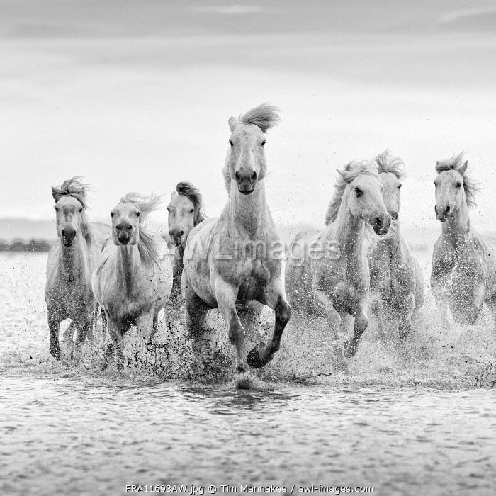 Europe, France, Provence-Alpes-Côte d'Azur, Bouches-du-Rhone, Camargue, Saintes-Maries-de-la-Mer, white horses run through the marshes of the Camargue