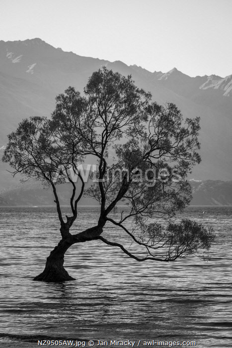 awl-images.com - New Zealand / Popular tree in Roys Bay on Wanaka Lake, Wanaka, Queenstown-lakes District, Otago Region, South Island, New Zealand