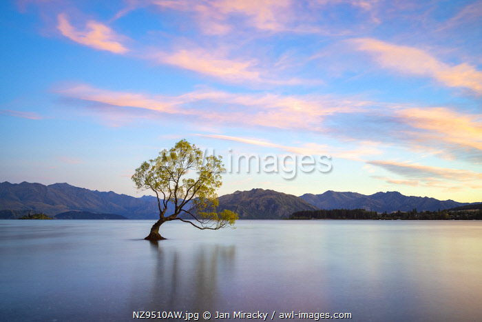 awl-images.com - New Zealand / Popular lone tree in Roys Bay on Wanaka Lake against sky at sunrise, Wanaka, Queenstown-lakes District, Otago Region, South Island, New Zealand