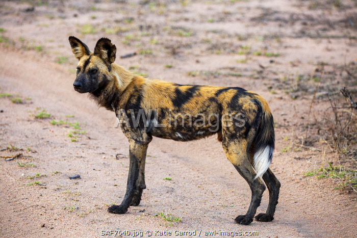 awl-images.com - South Africa / South Africa, Londolozi. Wild dog.