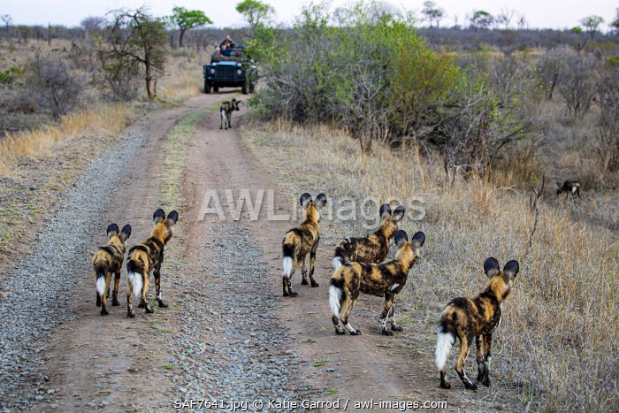 awl-images.com - South Africa / South Africa, Londolozi. Young wild dogs watching the adults flush out a wild boar.