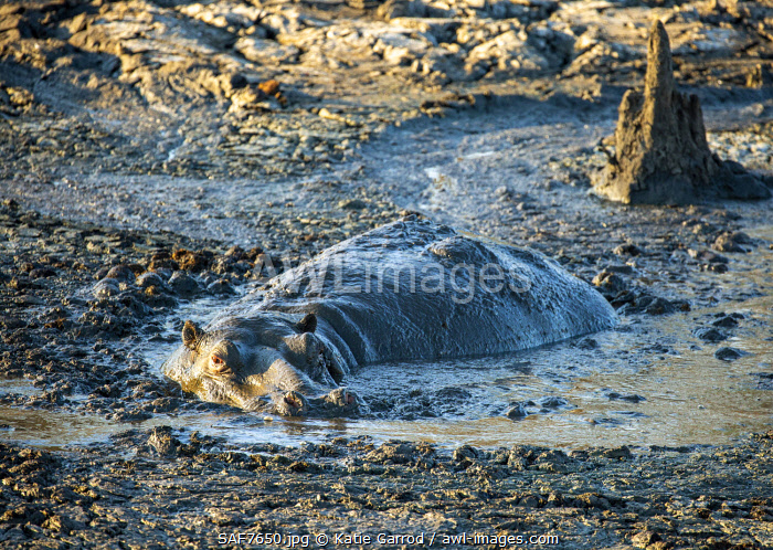 awl-images.com - South Africa / South Africa, Londolozi. Hippopotamus cooling off in mud.