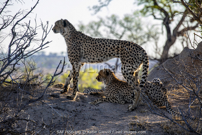 awl-images.com - South Africa / South Africa, Londolozi. A mother cheetah and her young surveying the terrain from a termite mount.