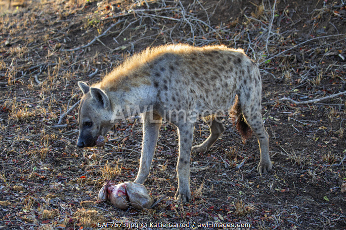 awl-images.com - South Africa / South Africa, Londolozi. Spotted hyena feeding on a stomach sac.