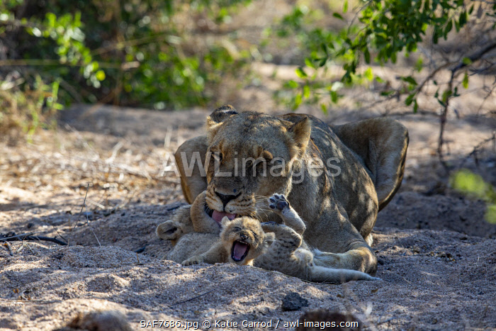 awl-images.com - South Africa / South Africa, Londolozi. Lioness looking after her cubs.