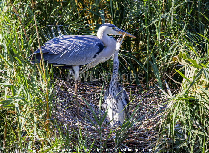 awl-images.com - South Africa / South Africa, Londolozi. A grey heron feeding her chick.