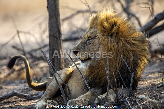 awl-images.com - South Africa / South Africa, Londolozi. Lion on the lookout.