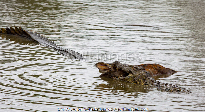 awl-images.com - South Africa / South Africa, Londolozi. Two crocodiles drowning a nyala.