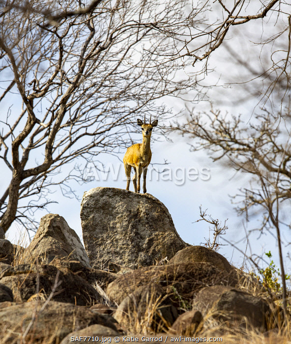 awl-images.com - South Africa / South Africa, Londolozi. Klipspringer in its favourite rocky terrain.