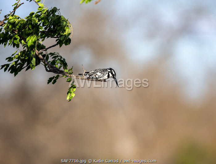 awl-images.com - South Africa / South Africa, Londolozi. Pied Kingfisher looking out for fish.