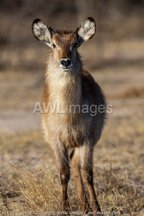 awl-images.com - South Africa / South Africa, Londolozi. Female waterbuck.