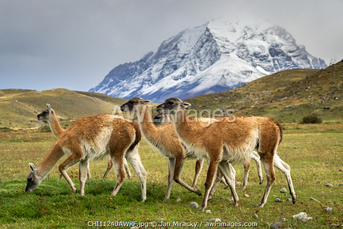 awl-images.com - Chile / Guanaco herd in front of snowcapped mountains, Torres del Paine National Park, Magallanes Region, Patagonia, Chile