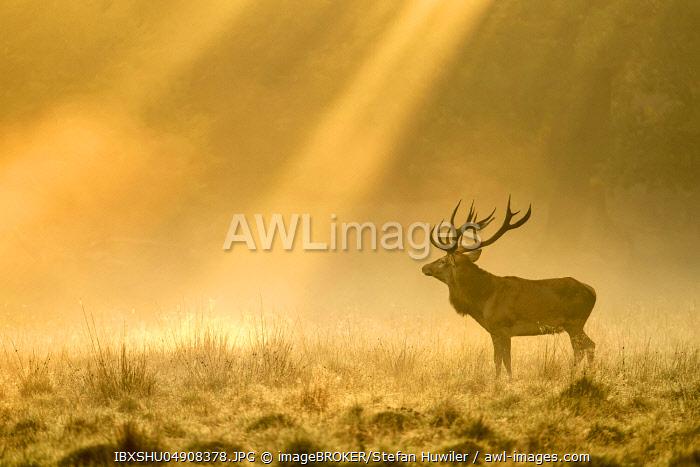 Enormous Red deer (Cervus elaphus), Sunrise with sunrays in early fog, Jägersborg, Denmark, Europe