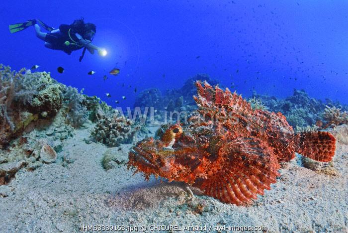 Egypt, Red Sea, a tasseled sorpionfish (Scorpaenopsis oxycephala)