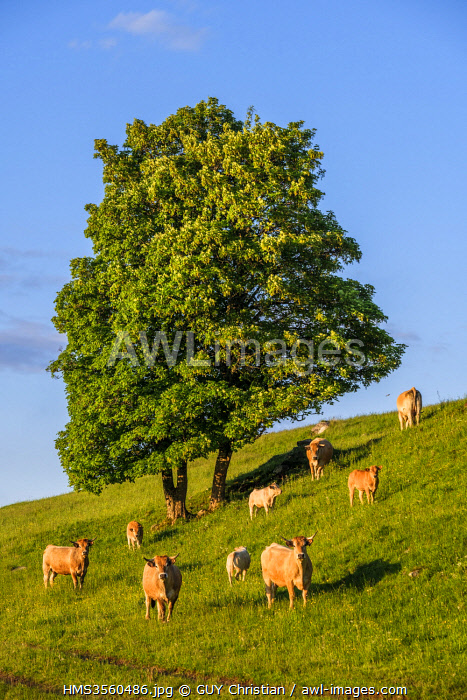 France, Cantal, Regional Natural Park of the Auvergne Volcanoes, herd of cows, Santoire valley near Dienne