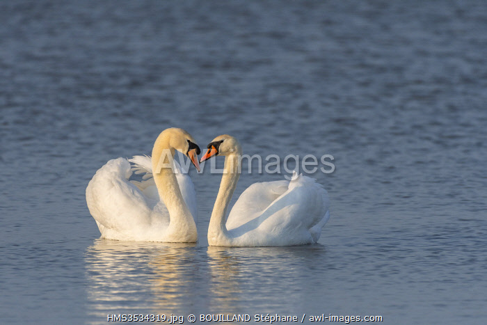 France, Somme, Baie de Somme, Nature Reserve of the Baie de Somme, Le Crotoy, love parade between mute swans (Cygnus olor Mute Swan)