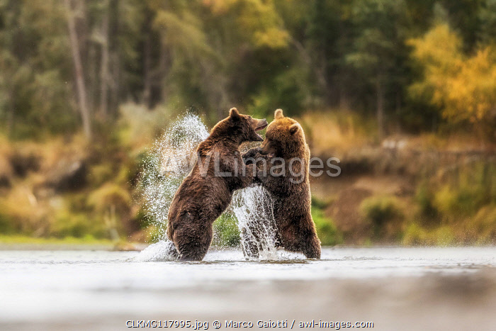 Brown bears fighting in Katmai National Park, Alaska