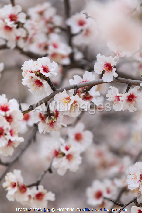 France, Alpes de Haute Provence, Saint Jurs, almond trees in bloom