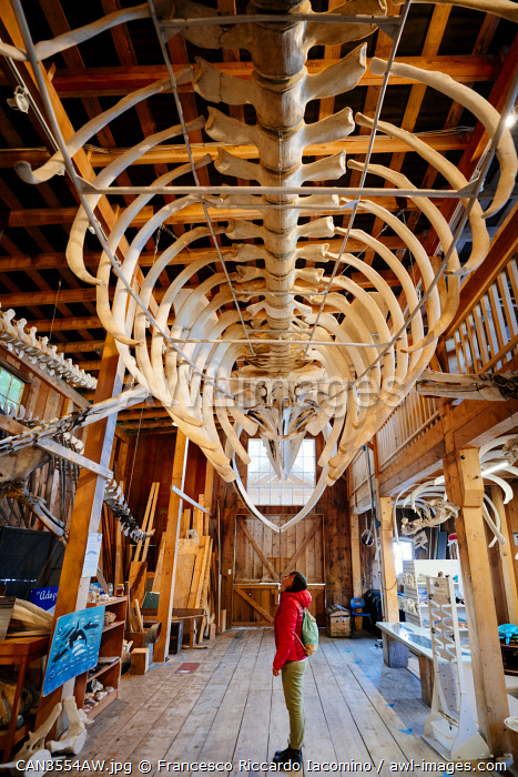 awl-images.com - Canada / Humpback Whale skeleton and tourist in Telegraph Cove, Canada. Whale Interpretative Canter Museum, Vancouver Island, British Columbia