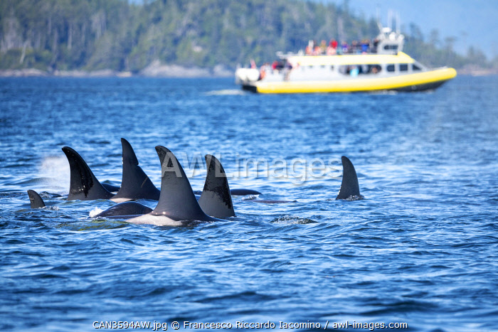 awl-images.com - Canada / Wild Killer Whale Watching at Vancouver Island, British Columbia, Canada. Pod and boat