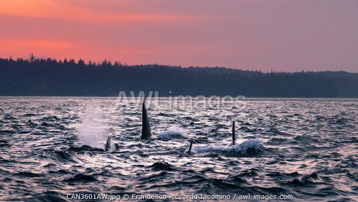 awl-images.com - Canada / Wild Killer Whale Watching at Vancouver Island, British Columbia, Canada. Sunset