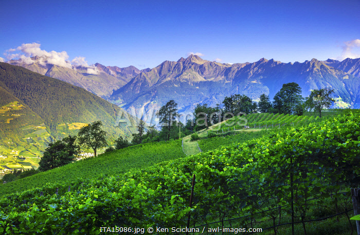 awl-images.com - Italy / Italy. Trentino Alto Adige. South Tyrol. Merano. Vineyards overlooking the Italian Alps