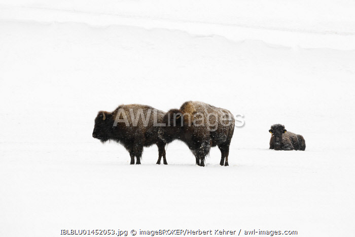 awl-images.com - American bisons (Bison bison) in winter