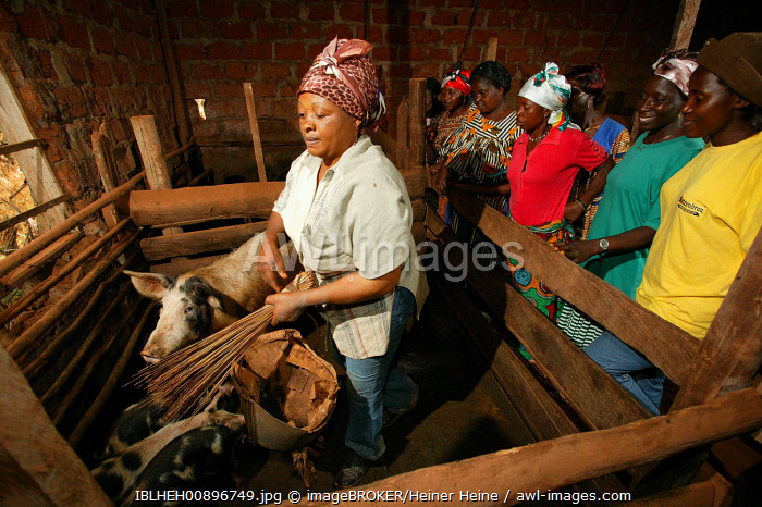 awl-images.com - Cameroon / Women feeding pigs in a piggery, Bamenda, Cameroon, Africa