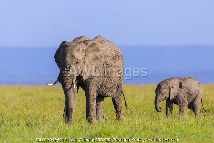 awl-images.com - Kenya / African elephants (Loxodonta africana), adult with young walking in savanna, Masai Mara National Reserve, Kenya, Africa