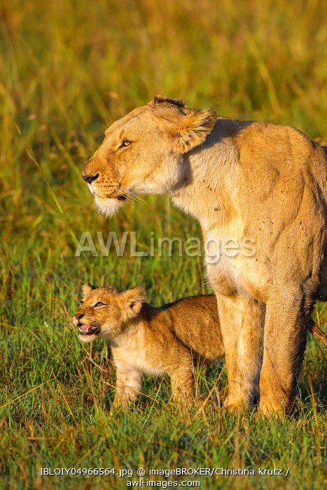 awl-images.com - Kenya / African Lion (Panthera leo) female with cub, Maasai Mara National Reserve, Kenya, Africa