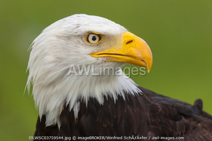 awl-images.com - Germany / Bald Eagle (Haliaeetus leucocephalus), portrait, captive, Saarland, Germany, Europe