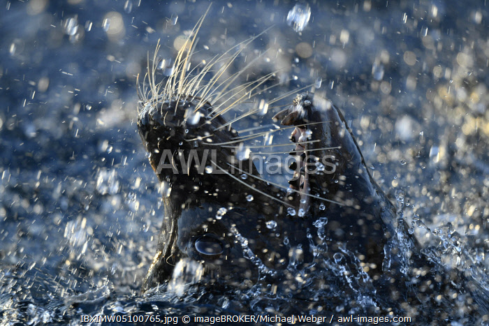 awl-images.com - Germany / California sea lion (Zalophus californianus), male, splashing in water, animal portrait, close-up, captive, Germany, Europe
