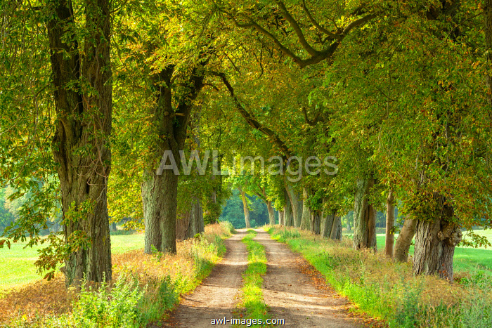 awl-images.com - Germany / Field path through avenue with Horse chestnuts (Aesculus), Mecklenburg-Western Pomerania, Germany, Europe