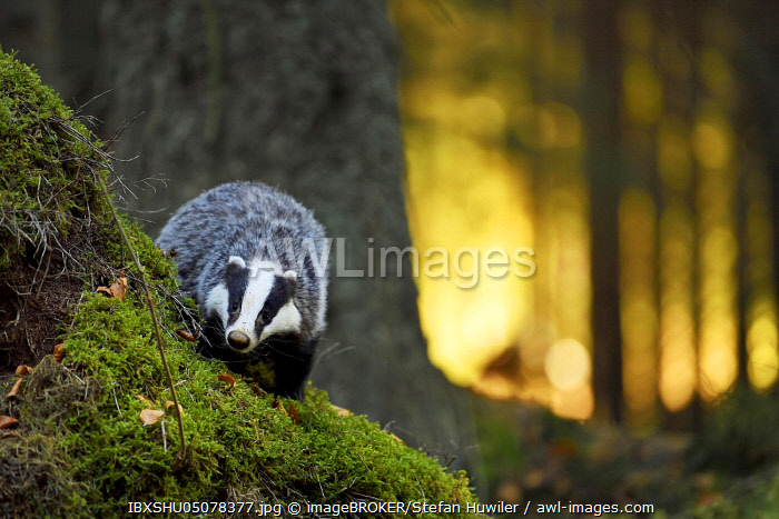 awl-images.com - Czech Republic / European badger (Meles meles), in the morning light on moss-covered hills standing in the forest, captive, Bohemian Forest, Czech Republic, Europe