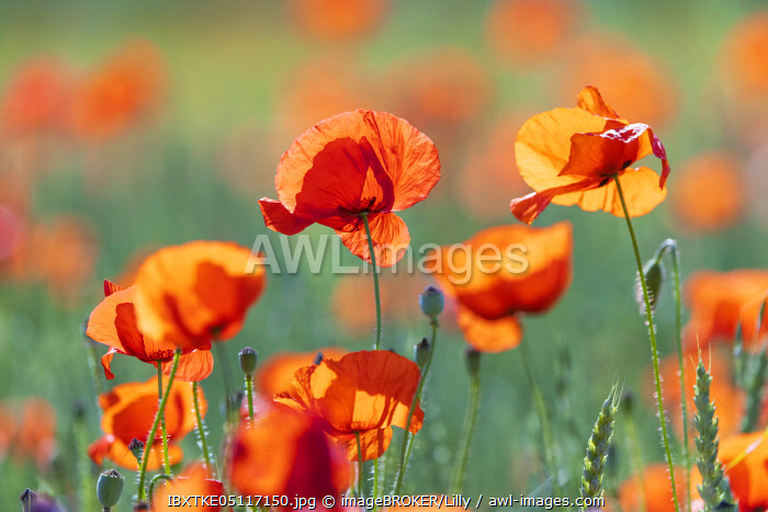 awl-images.com - Germany / Corn poppies (Papaver rhoeas), Baden-Wurttemberg, Germany, Europe