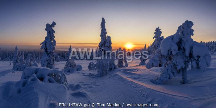 awl-images.com - Finland / Snow-covered Pine Trees at Sunrise, Riisitunturi National Park, Posio, Lapland, Finland