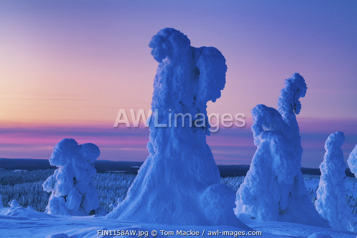 awl-images.com - Finland / Snow-covered Pine Trees, Riisitunturi National Park, Posio, Lapland, Finland