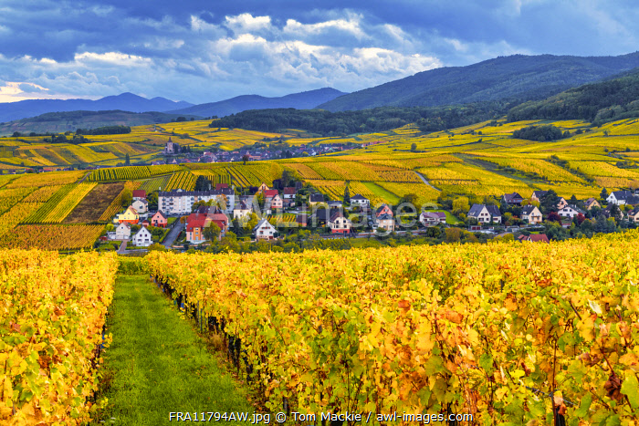 awl-images.com - France / View over Vineyards near Riquewihr, Alsace, France