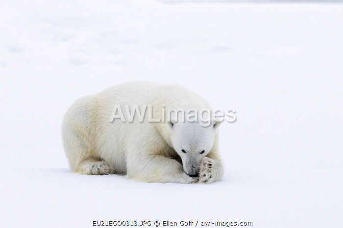 awl-images.com - Norway / Arctic, north of Svalbard. A polar bear rests on the edge of a slab of pack ice.