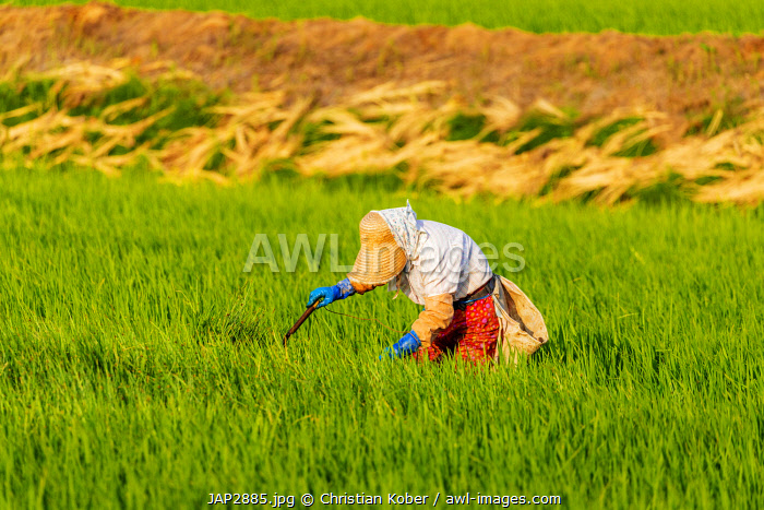 awl-images.com - Japan / Japan, Hokkaido, Furano, farm worker in a rice field